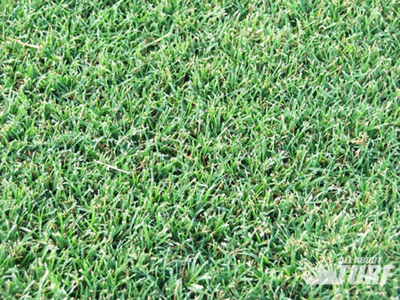Wintergreen Couch Turf 183 All About Turf Sydney